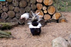 skunk, animal, zoo, fauna,
