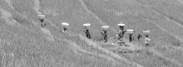 Working women in rice padding, par Franck Vervial