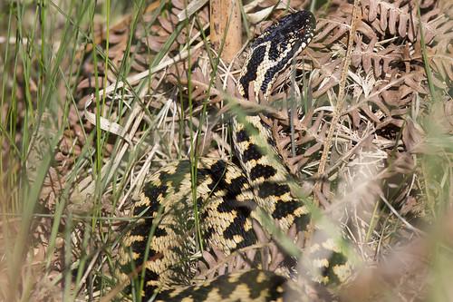 Wild Adder Snake Surrey