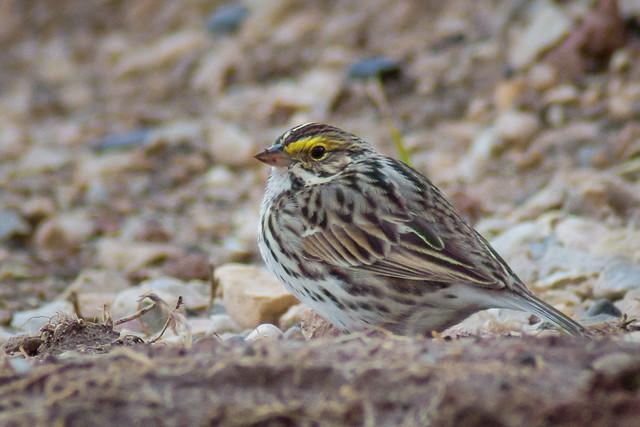Savannah Sparrow, Bird, Sparrow, Brown, Yellow,