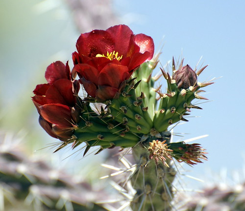 Cholla Blossoms by RV Bob