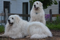 dog breed, animal, polish tatra sheepdog, dog, caucasian shepherd dog, pet, maremma sheepdog, slovak cuvac, livestock guardian dog, carnivoran, great pyrenees,