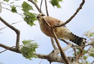 Falco vespertinus Falco cuculo