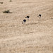 hopping kangaroos by marin.tomic