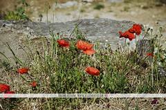 Poppies at Pont du Gard - France