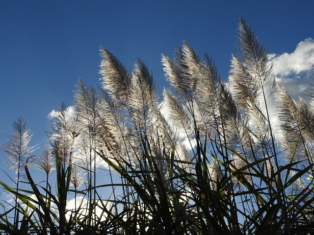 Sugar cane in flower (set of 6)