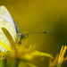 Kohlweißling (Pieris brassicae) - Ein Augenblick by Pana53