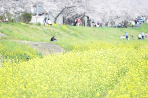 cherry nikon bank 桜 toyokawa 80400mm d4 菜の花 2470mm 豊川 桜並木 堤 sanagawa 佐奈川 d800e