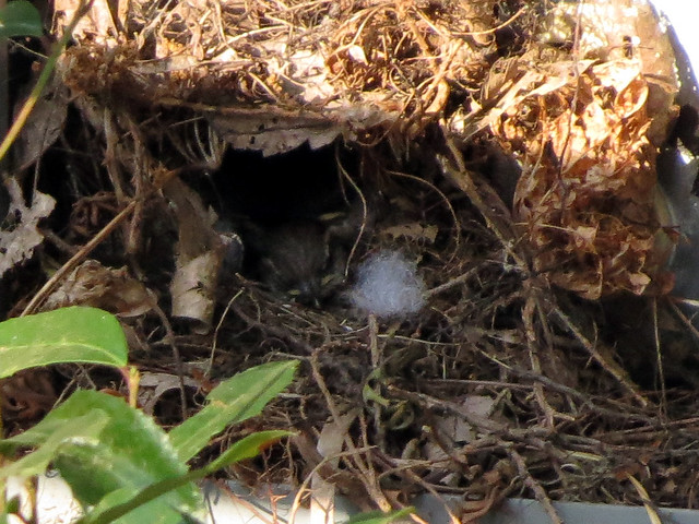 baby Carolina Wren in nest