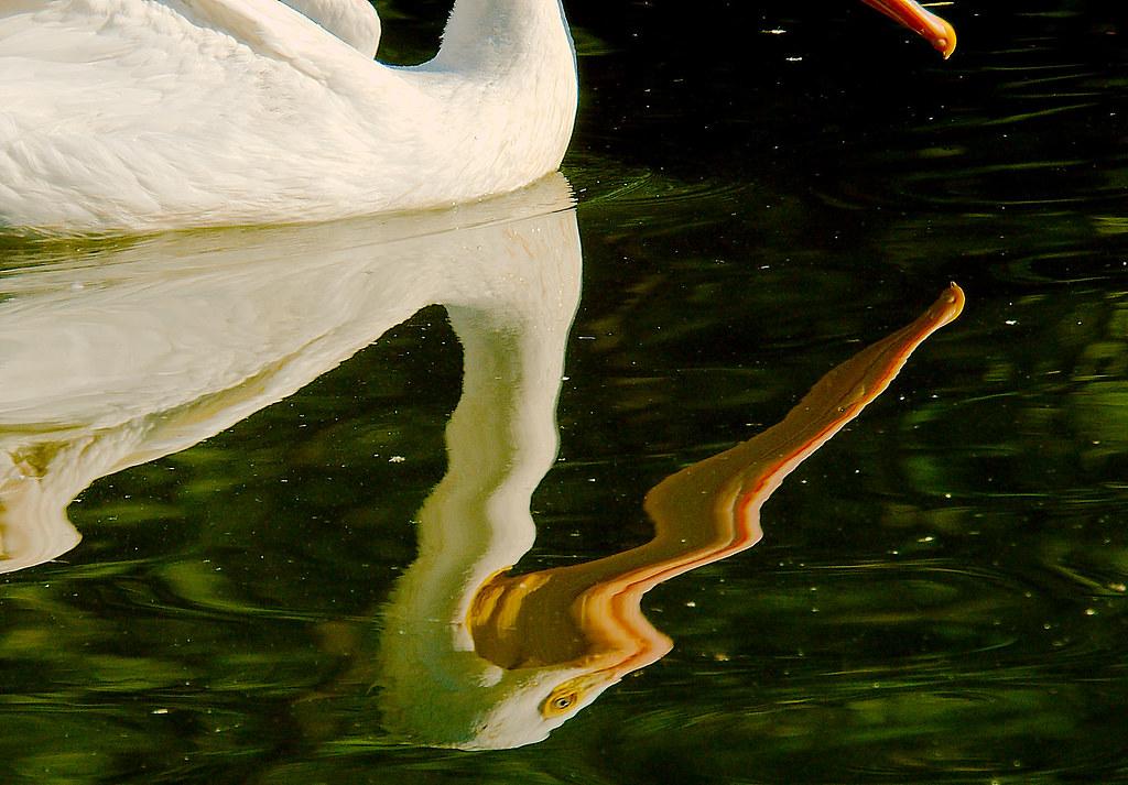 Pelican_3