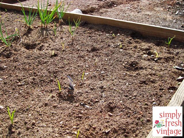 Garlic ... in the Garden | Simply Fresh Vintage