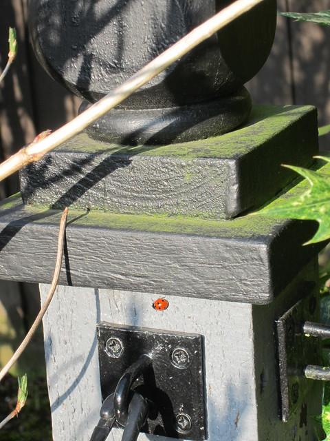 1st ladybird of spring (1)