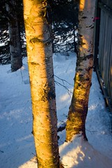 March 18, 2013: Sunset Birches