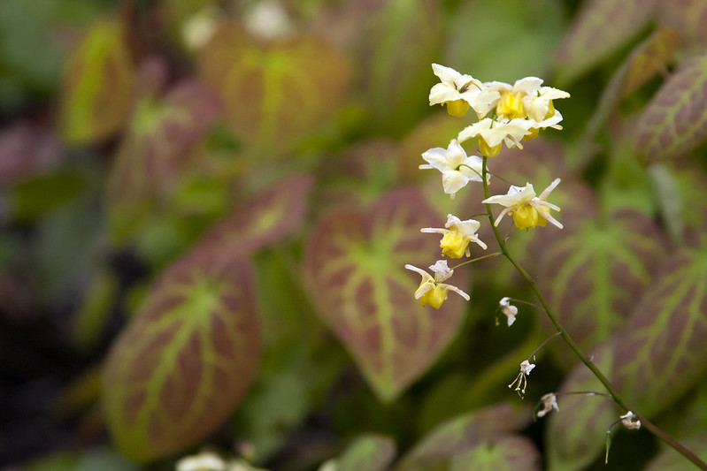 Yellow Epimedium