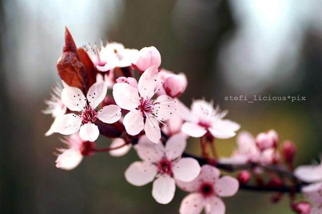 kirschblüte_2