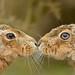 Male & Female Brown Hare by Benjamin Joseph Andrew