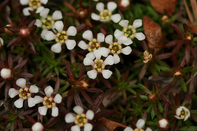 Pyxidanthera barbulata, commonly known as flowering pixie-moss. Endangered in New York State. Photo by  Uli Lorimer.