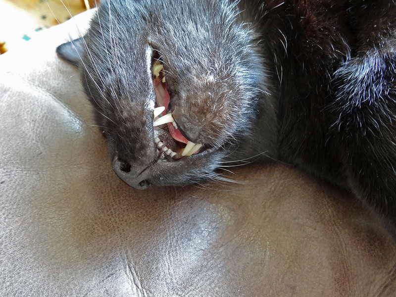 Cat, teeth, fur and leather
