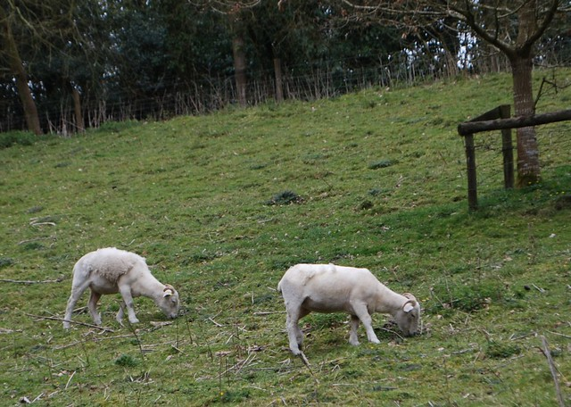 Wiltshire Horn sheep shedding at National Trust Stourhead