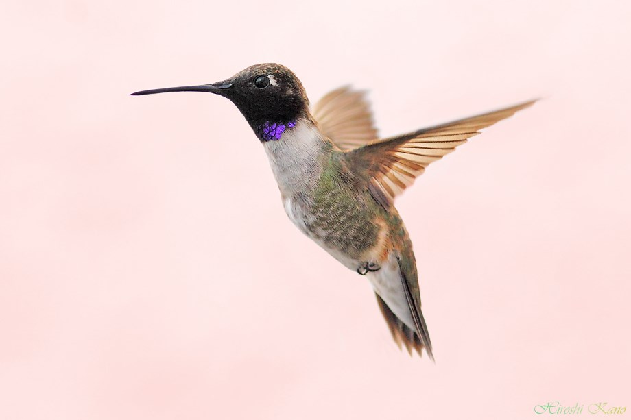 Black Chinned Hummingbird 050113-2