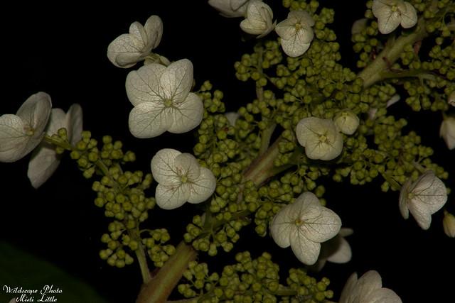 oakleafhydrangea1
