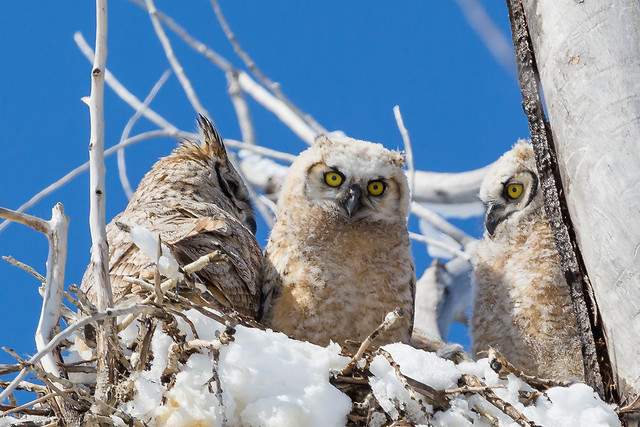 Great Horned Owls - In the nest