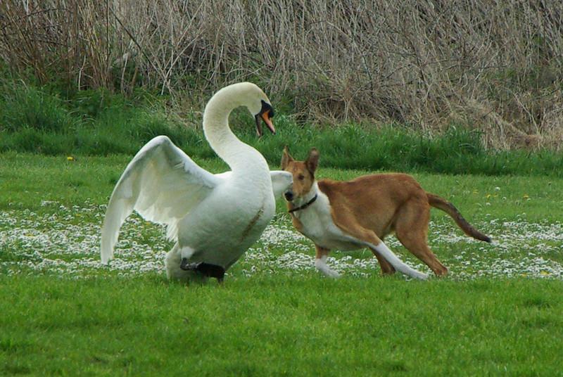 Bren Attempting to Herd a Swan