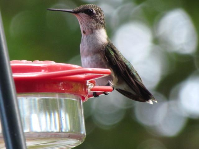 Immature Hummingbird 7:28:11