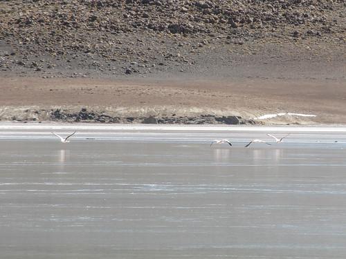 Le Sud Lipez: la Laguna Charcota et ses flamants roses