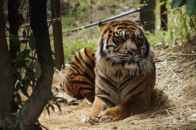 スマトラトラ(Sumatran Tiger)
