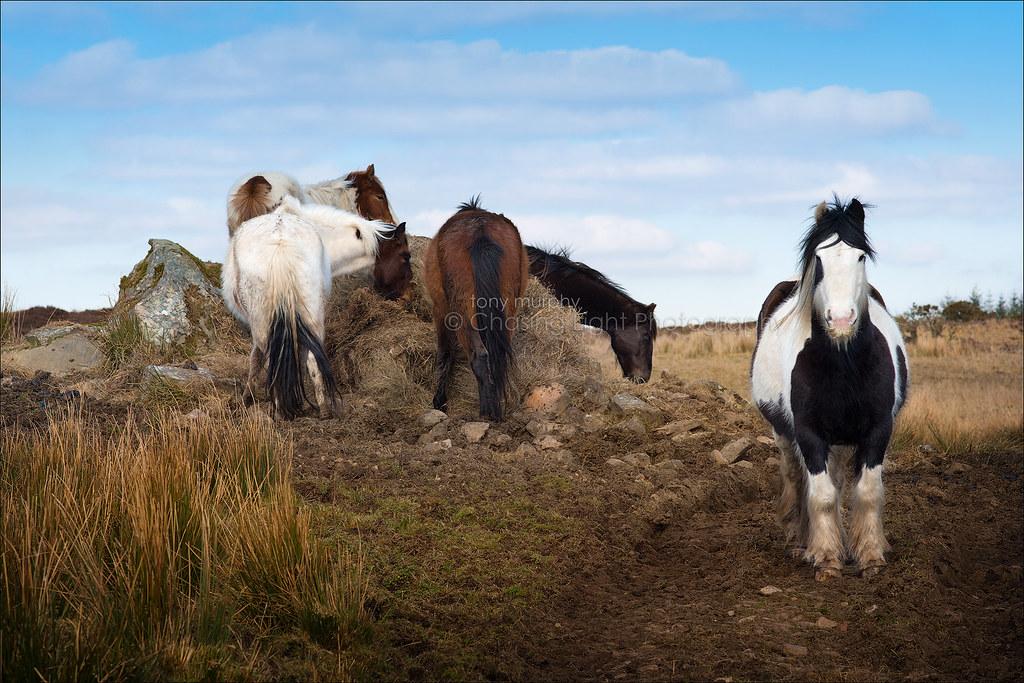 Cornameeltha Ponies TMP_4863