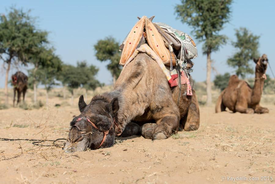верблюды в пустыне индии