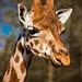 Small photo of Orka Giraffe, Skopje ZOO
