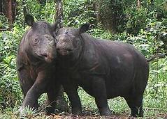 蘇門答臘犀牛(照片由Dedi Candra / Yayasan Badak Indonesia提供)。