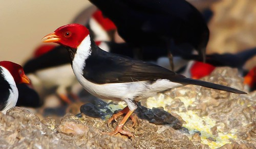 Yellow-Billed Cardinal in Brazil