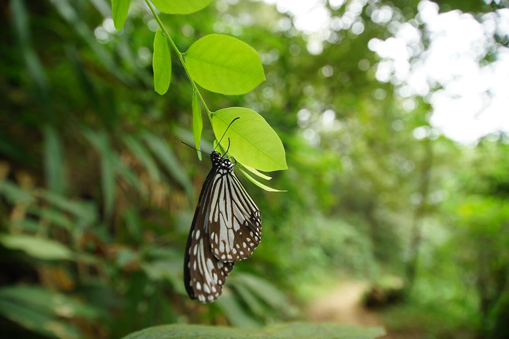 蛺蝶科絹斑蝶屬絹斑蝶-01