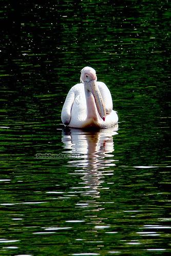 Pelican - 13 by ShubhenduPhotography