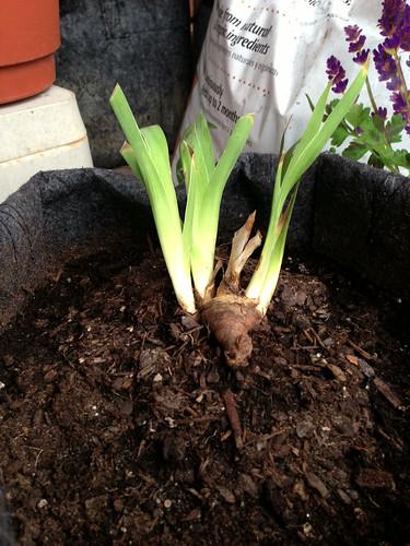 Iris rhizome