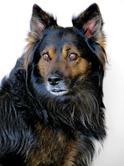 lapponian herder(0.0), puppy(0.0), finnish lapphund(0.0), german spitz(0.0), dog breed(1.0), german shepherd dog(1.0), animal(1.0), dog(1.0), mammal(1.0), vulnerable native breeds(1.0), bohemian shepherd(1.0),