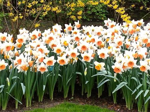Keukenhof - coral trumpet daffodils
