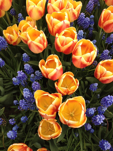 Keukenhof - orange tulips grape hyacinths