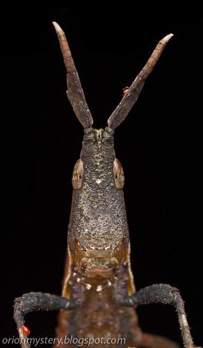 IMG_6303 copy dead leaf grashopper, Systella rafflesii