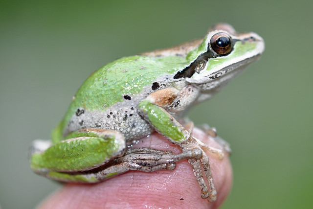 Tiny frog on my finger