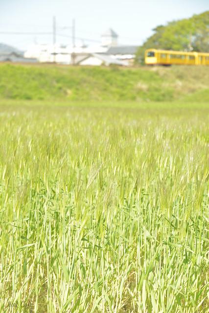 麦畑にて 2