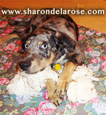 Catahoula Leopard puppy with rope toy