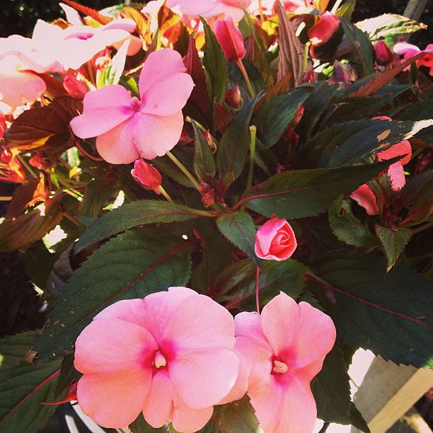 Day 1 #fmsphotoaday #iboughtthis! New Guinea Impatiens to pretty up my porch! #pretty #flowers