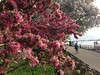 Riverside Park cherry trees by SpecialKRB