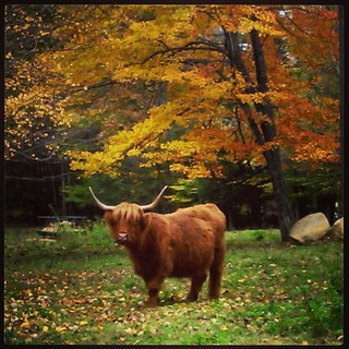 Beautiful! #highlandcattle #farmanimals #newhampshire #fall #leaves #foliage