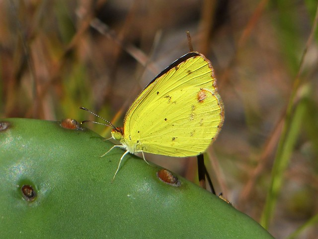 Little Yellow (Pyrisitia lisa) on Eastern Prickly Pear (Opuntia humifusa)
