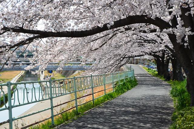 CherryBlossom_13